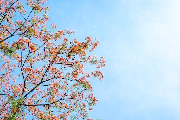 Mirando la flor roja en el árbol en el cielo azul