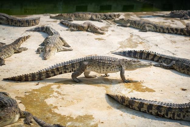 Mirando tailandia cocodrilo bebé