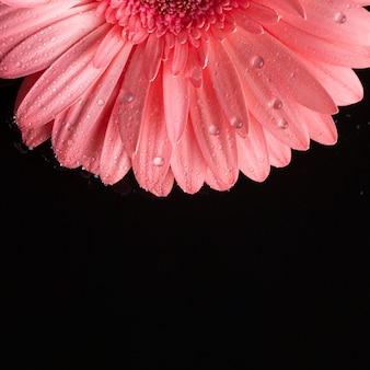 La mitad de gerbera rosa y fondo negro