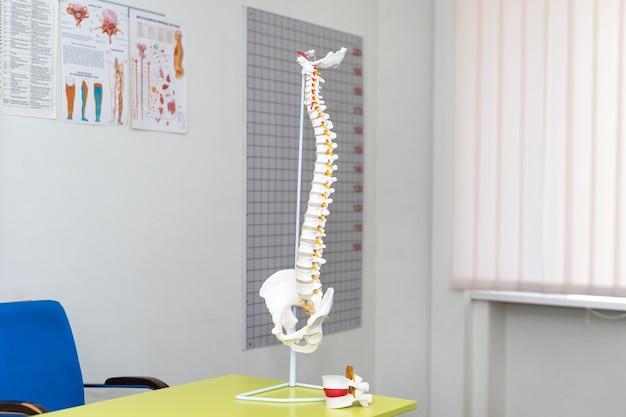 Modelo anatómico de columna vertebral en consultorio médico
