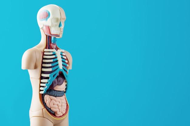 Modelo anatómico del cuerpo humano con órganos internos.