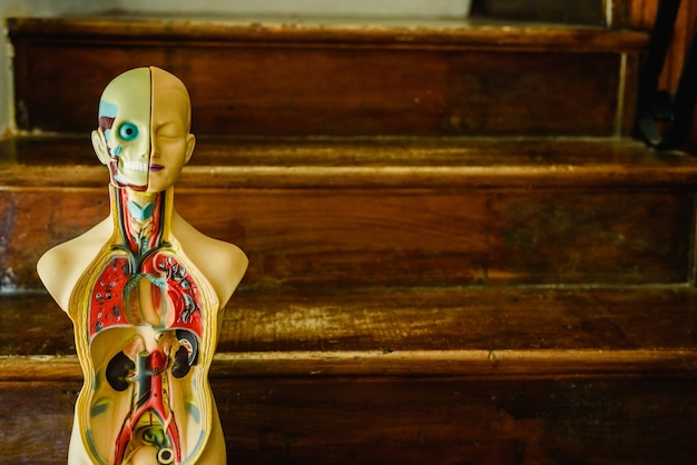 Modelo anatómico del cuerpo humano en plástico para estudiar en el aula o para el médico.