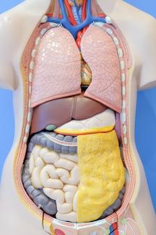 Modelo anatómico de los órganos internos del cuerpo humano.