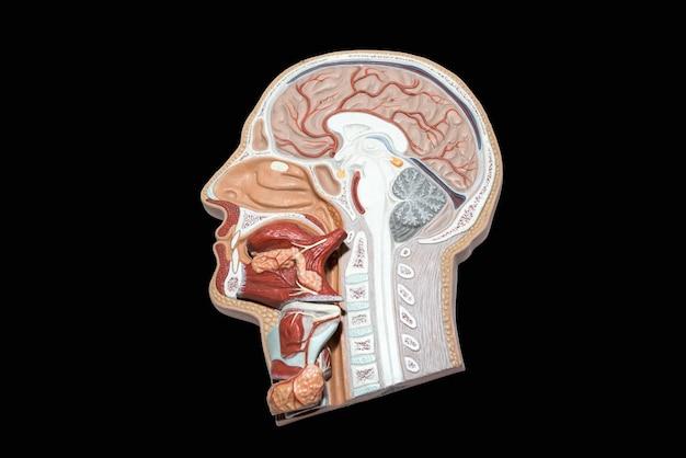 Modelo de cabeza humana y cuello para estudio aislado.