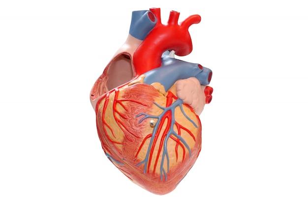 Modelo del corazón humano y cardiógrafo sobre fondo blanco.