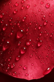 Mojado cerca de macro pétalos de rosa, gotas de agua