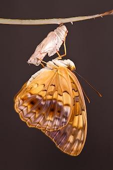 Momento increíble sobre cambio de mariposa forma de crisálida