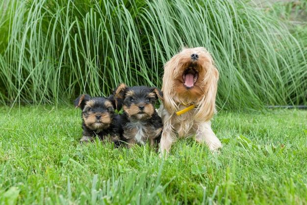 Momia y dos cachorros pequeños de yorkshire terrier