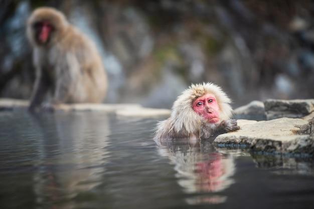 Mono en aguas termales de onsen, japón