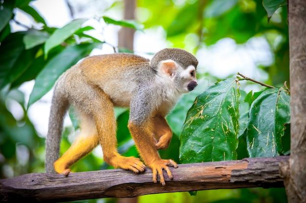 Mono ardilla en el bosque. fondo de la naturaleza