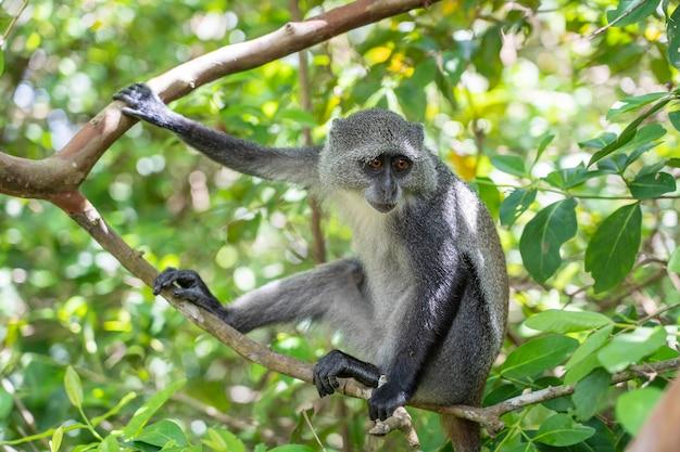 Mono azul endémico salvaje sentado en la rama en bosque tropical en la isla de zanzíbar, tanzania, áfrica oriental