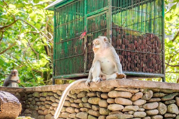 Mono balinés de cola larga en el santuario