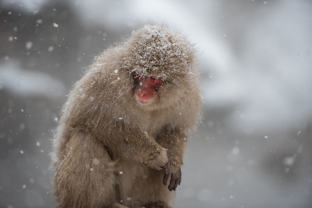 Mono chilly en el parque jigokudani, japón