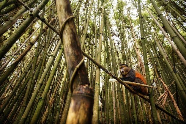 Mono dorado salvaje y muy raro en el bosque de bambú