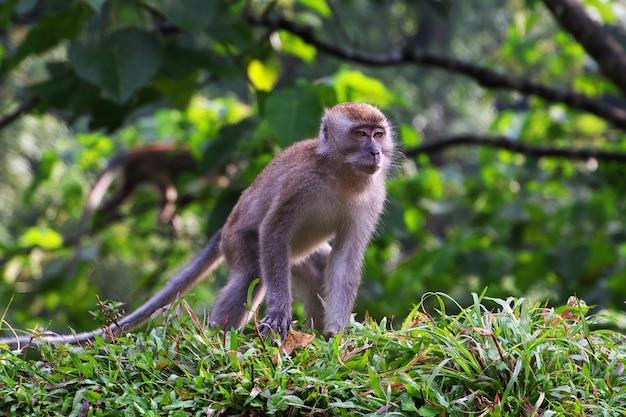 El mono en las montañas de indonesia