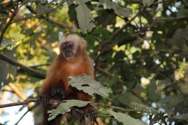 Un mono rojo en una isla dentro del río madre de dios, puerto maldonado. perú
