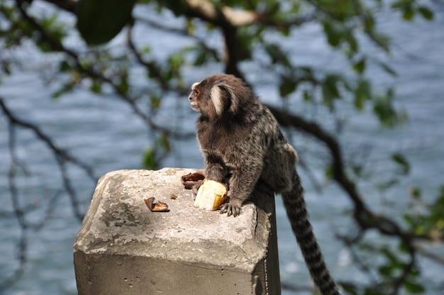 Mono sagui en estado salvaje en río de janeiro, brasil