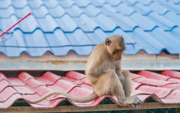Mono sentado triste y deprimido en el techo de la casa