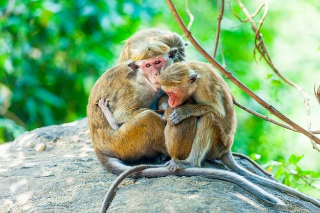 Mono de sri lanka sentado en el árbol
