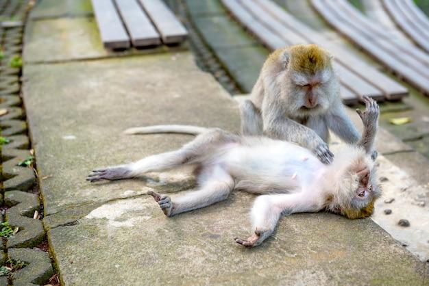 Monos balineses de cola larga en las escaleras