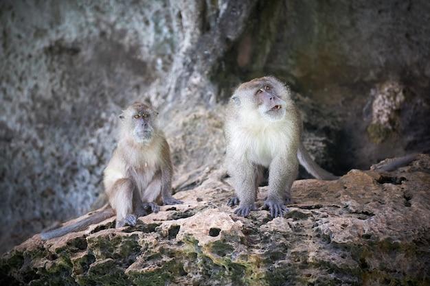 Monos machos y hembras insatisfechos están sentados en un acantilado de piedra