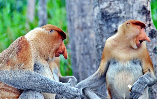 Monos de nariz en las selvas de borneo (kalimantan)