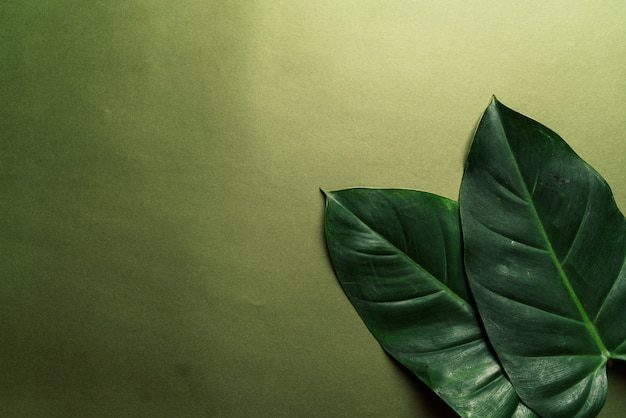 Monstera deja en fondo verde