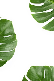 Monstera planta deja sobre fondo blanco.