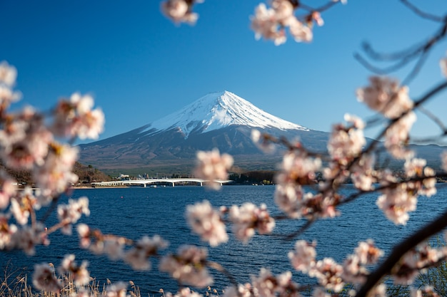 Monte fuji en la primavera con flores de cerezo en kawaguchiko fujiyoshida, japón.