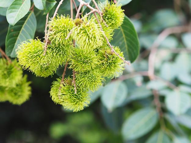 Montón de fruta rambután en el árbol