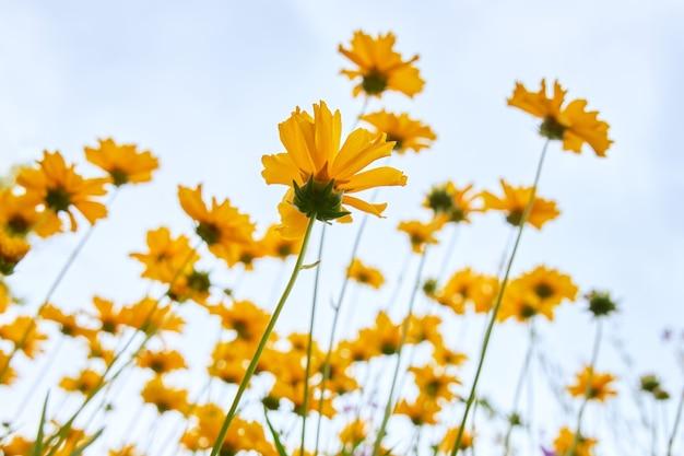 Un montón de hermosas margaritas amarillas en el cielo azul