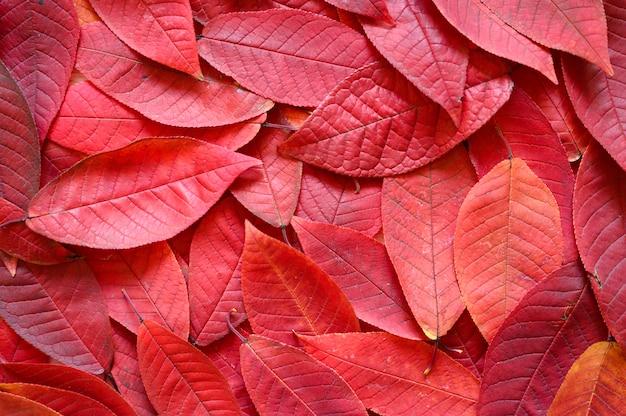 Un montón de hojas caídas de otoño rojo
