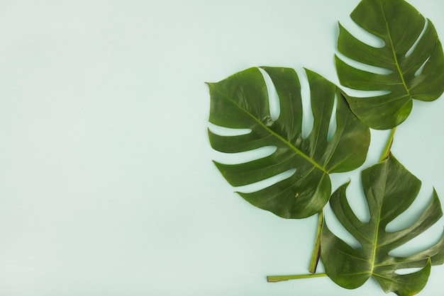 Montón de hojas de monstera