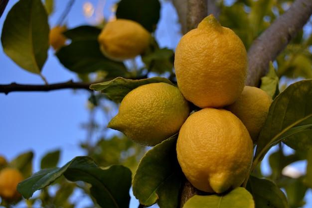 Montón de limones maduros en una lectura de limonero para recoger