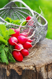 Montón de rábano rojo fresco en una cesta en el tocón