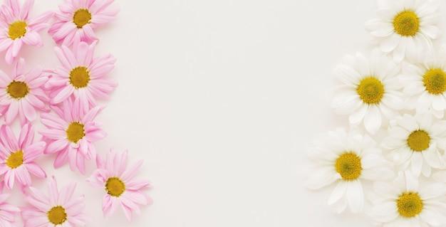Montones de capullos de flores de margarita rosa y blanco