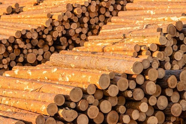 Montones de troncos de pino y alerce preparados para la exportación. el concepto de tala y destrucción de las reservas forestales mundiales.