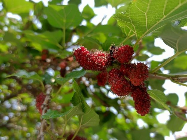 Moras negras y rojas en el árbol