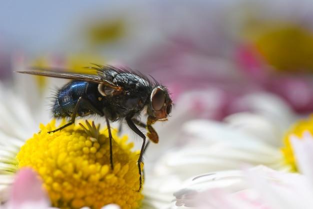 Una mosca insecta come polen en una flor de manzanilla amarilla, propaga la infección