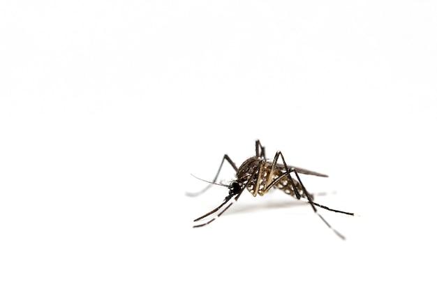 Mosquito aislado en un fondo blanco