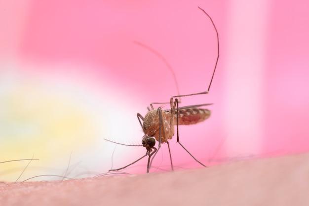 Mosquito en dulce mordedura de color rosa y chupando sangre humana. macro disparo.