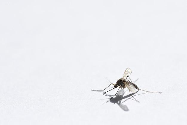 El mosquito herido se arrastra desde el primer plano de peligro, copia espacio