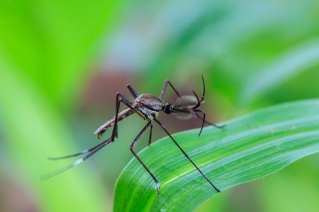 Mosquito en hoja verde