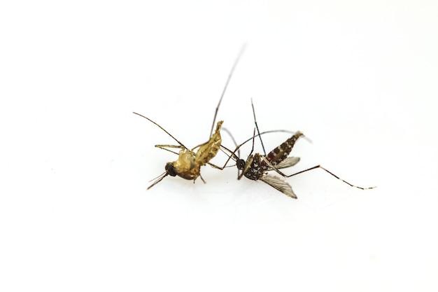 Mosquito muerto tumbado en el fondo blanco de cerca