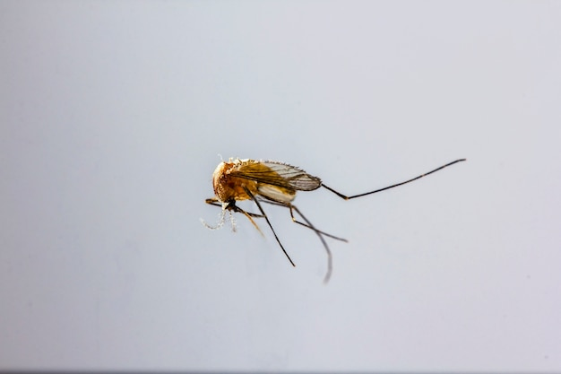 Los mosquitos son pequeños en tamaño.