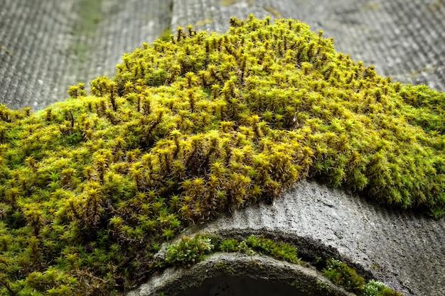 Moss creciendo en el techo de la casa.