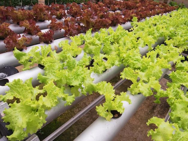 La mostaza verde fresca crece en macetas hidropónicas.