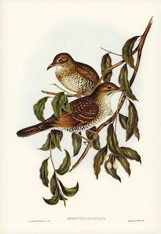 Moutain thrush (oreocincla lunulata) ilustrado por elizabeth gould