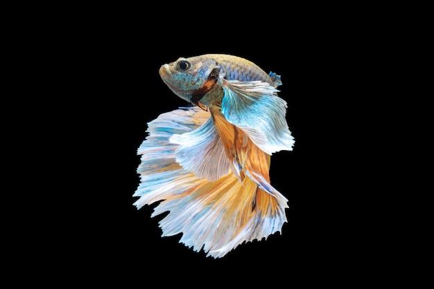 Movimiento de peces betta, peces luchadores siameses, betta splendens aislado en negro