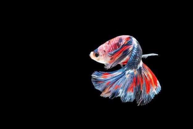 Movimiento de los peces betta, peces luchadores siameses.